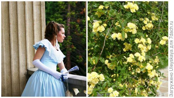 Барышня на балу Розовый вальс и старинная вечнозеленая роза Бэнкса Желтая