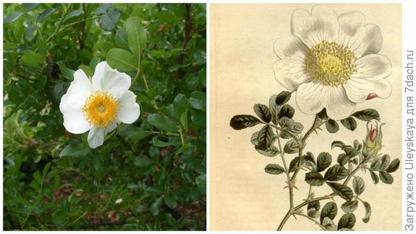 Старинная роза Rosa bracteata в моем объективе, рисунок, фото сайта wikiwand.com