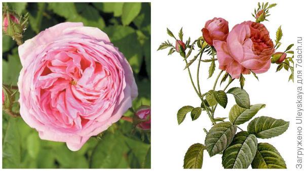 Rosa x centifolia, фото сайта ilgiardinodellecollezioni.it, рисунок, фото сайта en.wikipedia.org