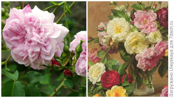 Старинная роза сорт Duc de Constantin в моем объективе; букет ретро-роз, художник Альберт Вильямс, фото сайта liveinternet.ru