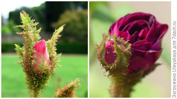 Бутоны моховых розы, слева фото сайта davesgarden.com, справа flickr.com