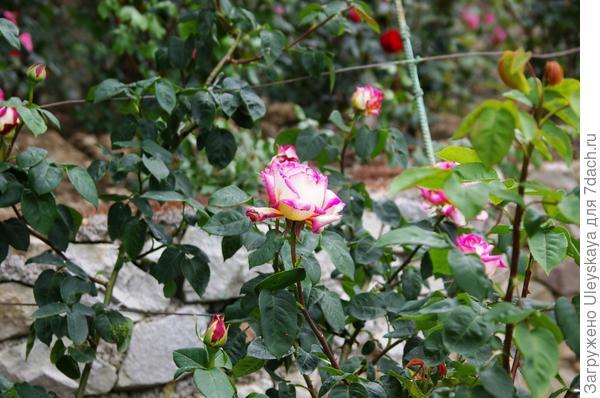 Роза сорт Николай Гартвис из группы плетистых крупноцветковых