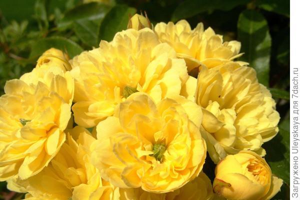 Роза Банкса Желтая