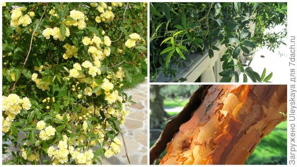 Вечнозеленая роза Бэнкса Желтая в Партените