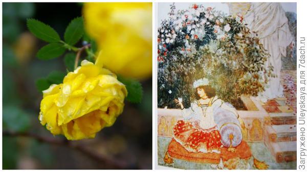Старинная роза Rosa foetida Persiana, персидские розы гравюра, фото сайта gulsha.com