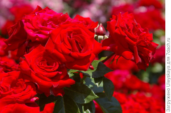 Роза сорт Niccolo Paganini из группы флорибунда