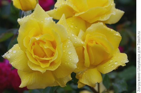 Роза флорибунда сорт Anthonie Meilland