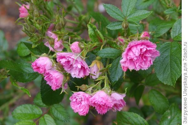 Роза сорт Pink Grootendorst