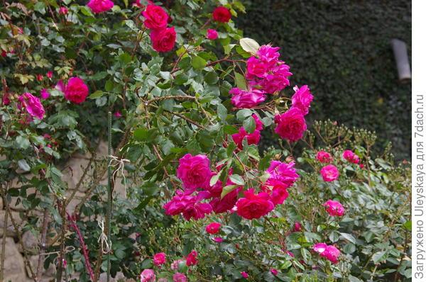 Плетистая роза у стены