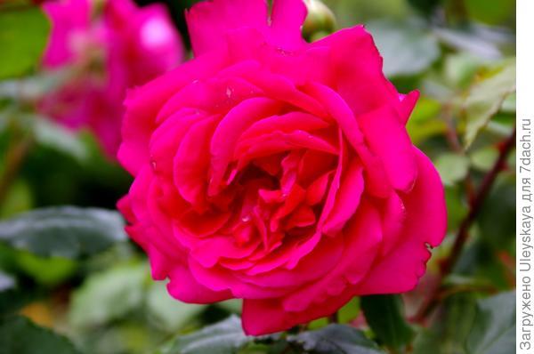 Роза сорт General Mac Arthur