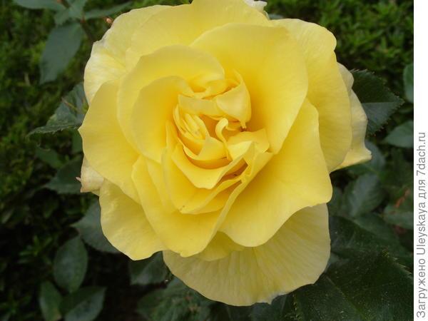 Роза флорибунда сорт Friesia