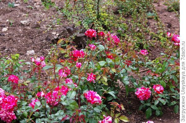 Миниатюрные розы в рокарии
