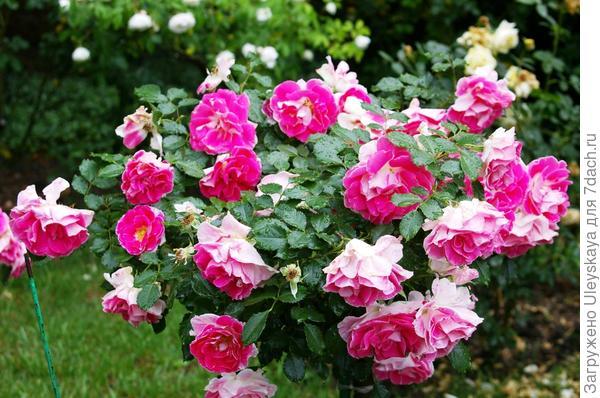 Роза патио сорт Regensberg
