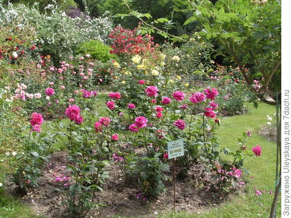Чайно-гибридные розы среди себе подобных Эти розы для партерных мест, ограждений