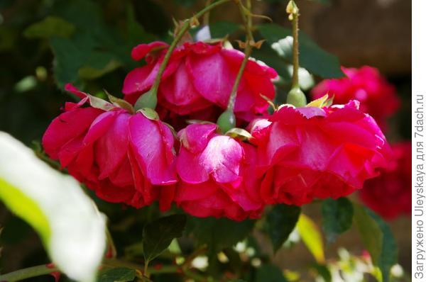 Плетистая роза Climber сорт Pauls Scarlet