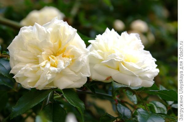 Плетистая роза сорт Alberic Barbier