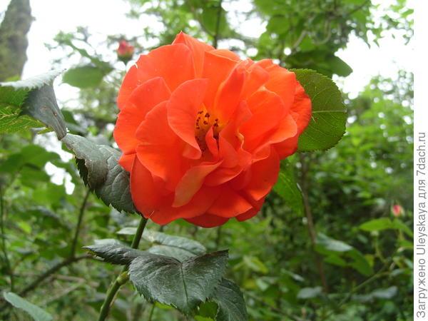 Полуплетистая роза сорт Lydia