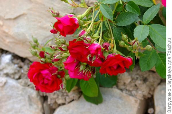Продолжение статей о розах еще впереди