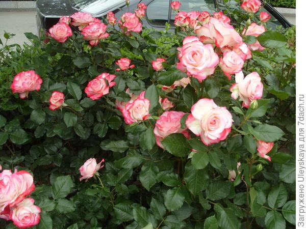 Роза флорибунда сорт Jubile du Prince de Monako в цветнике