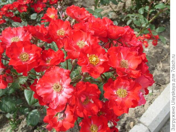 Полиантовая роза сорт Orange Triumpf