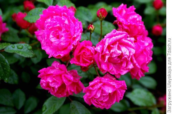 Полиантовая роза сорт Харьковчанка