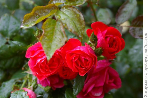 Плетистая роза сорт Красный Маяк
