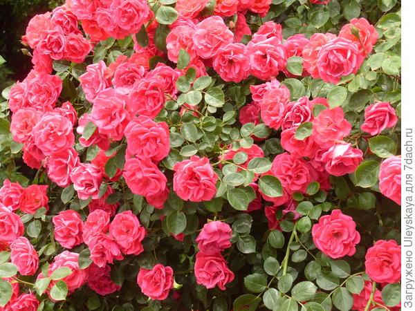Плетистая роза сорт Девичьи Грезы у стены