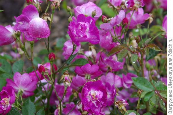 Миниатюрная почвопокровная роза сорт Mr. Bluebird