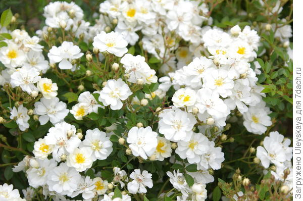 Миниатюрная почвопокровная роза сорт Mozomi