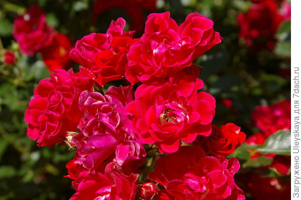 Почвопокровная роза сорт Fiona