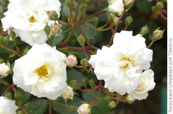 Полуплетистая роза сорт Ave Maria