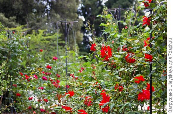 Плетистые розы на фигурных опорах