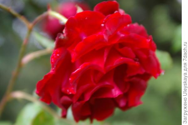 Плетистая роза сорт Grandessa