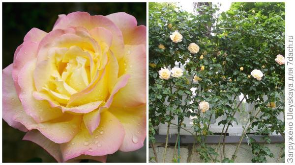 Чайно-гибридная роза сорт Gloria Dei, она же в линейной посадке у стены