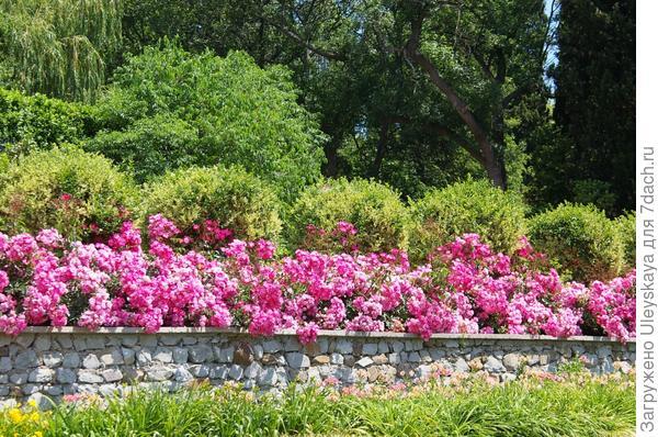 Почвопокровная роза сорт Fair Play в оформлении стены