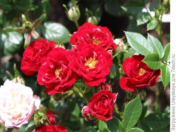 Роза патио сорт Peter Pan, фото сайта ashwoodnurseries.com