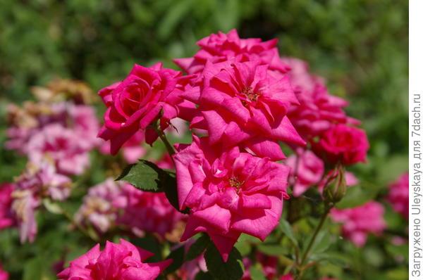Миниатюрная роза сорт Roslini