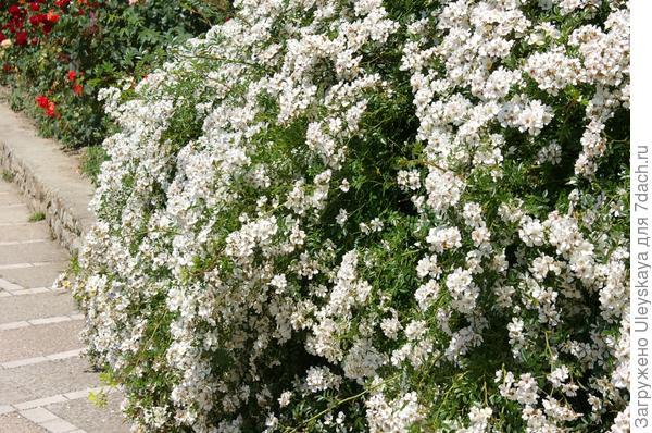 Роза сорт Mozomi в живой изгороди