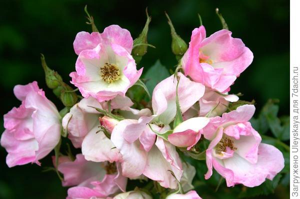 Роза сорт Abelzieds