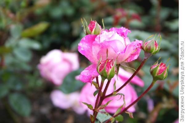 Полиантовая роза сорт Кубиночка