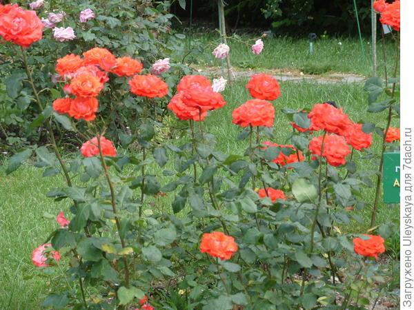 Чайно-гибридная роза сорт Angelique