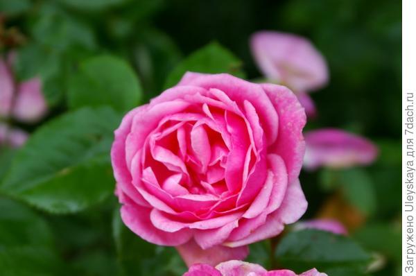 Полуплетистая роза сорт Веснянка