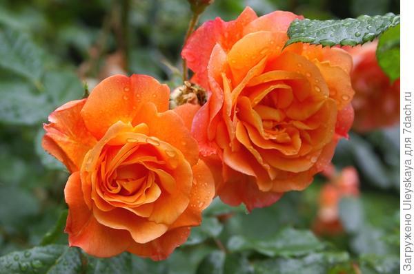 Полуплетистая роза сорт Westerland