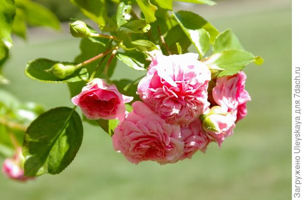 Миниатюрная плетистая роза sp.