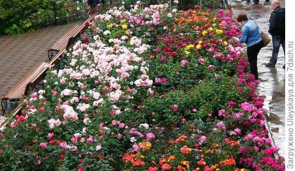 Розы флорибунда в розовом боскете