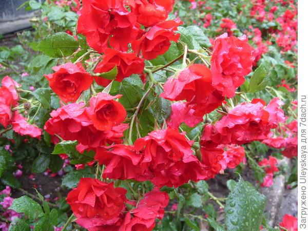 Почвопокровная роза сорт La Sevillana