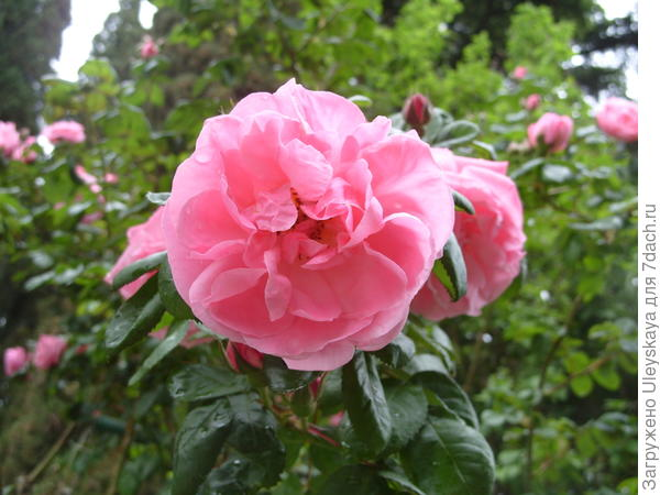 Полуплетистая роза сорт Весенняя Заря
