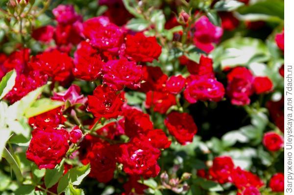 Миниатюрная роза сорт Red Cascade