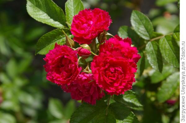 Роза сорт Grootendorst