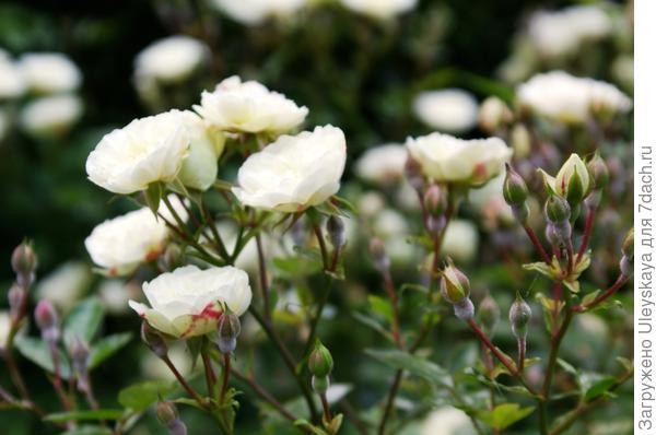 Миниатюрная роза сорт Green Ice